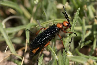 Blister Beetle Kofa 2020-2