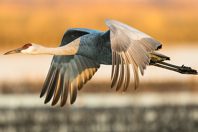 Sandhill Cranes Winter 2018-8