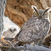 Great Horned Owl Spring 2018-3