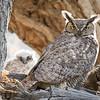 Great Horned Owl Spring 2018-3