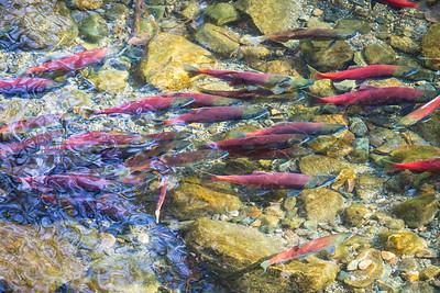 Kokanee Salmon Fall 2018-6
