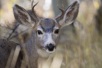 Mule Deer Fall 2018-3