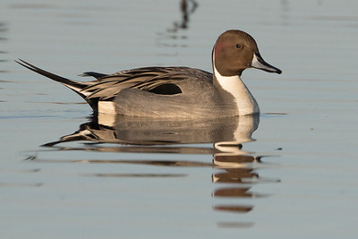 Northern Pintail Winter 2018-3