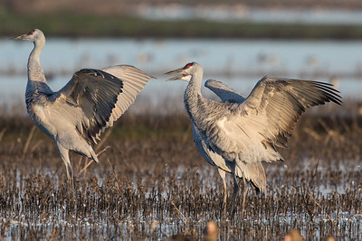 Sandhill Cranes Winter 2018-13