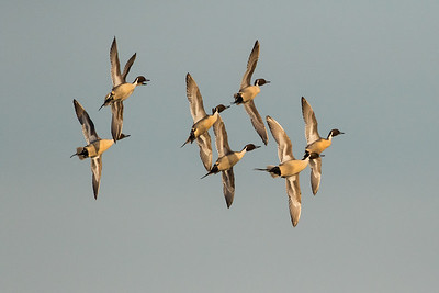 Northern Pintail Winter 2018-4