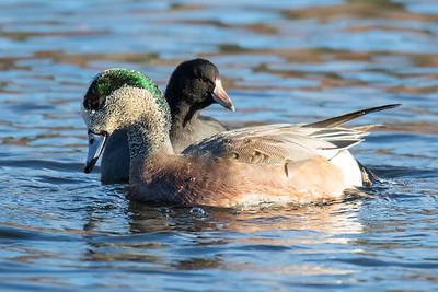 American Wigeon and Coot-1