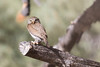 Northern Pygmy-Owls Spring 2018-1