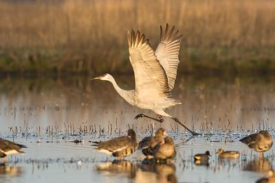 Sandhill Cranes Winter 2018-11