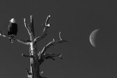 Bald Eagle and Moon 2021-1