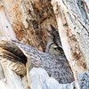 Great Horned Owl Spring 2018-1