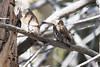 Northern Pygmy-Owls Spring 2018-2