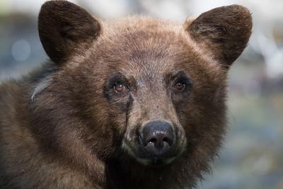 Tahoe Bear Summer 2018-3476