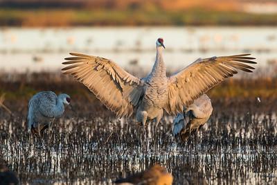 Sandhill Cranes Winter 2018-1