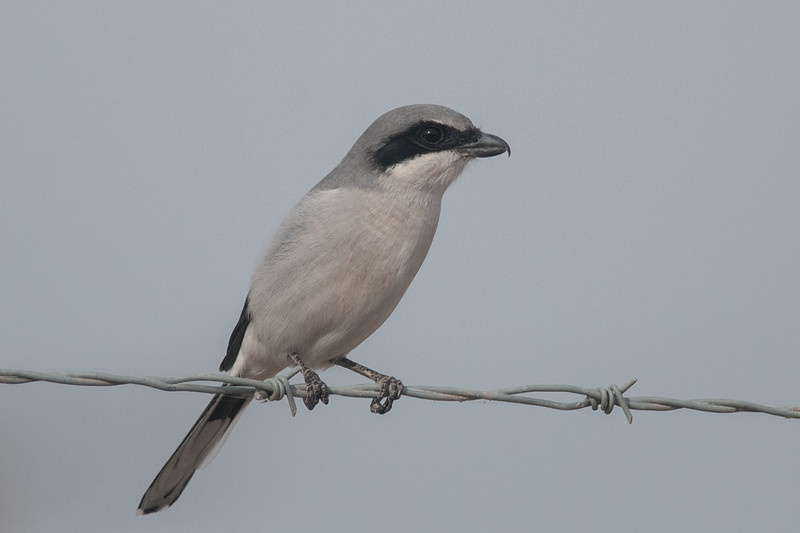 Loggerhead Shrike, aka the Butcher Bird for it's habit of hanging prey like small birds or rodents on a hook like barbed wire while dining.