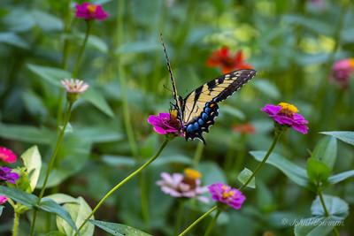 Swallowtail - on zinnia