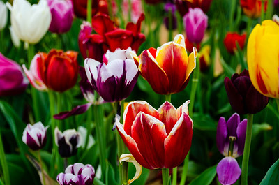 Holland Ridge Farms Tulip Festival - Cream Ridge, NJ