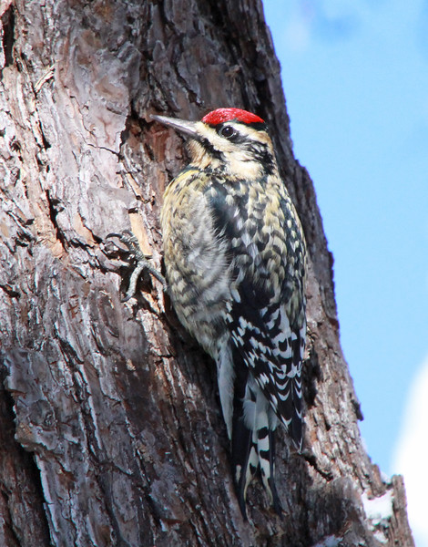 Yellow-bellied sapsucker 3
