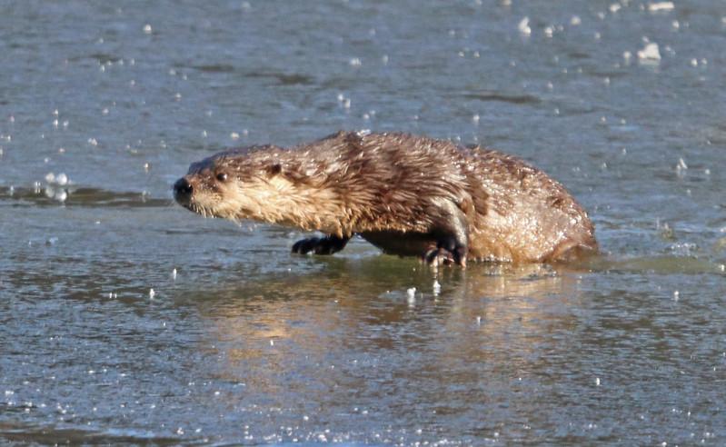 Otter 71