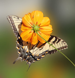 Swallowtail and flower 828