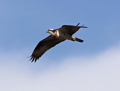 Osprey 104