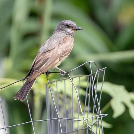 2021-08-15  Cassin's Kingbird