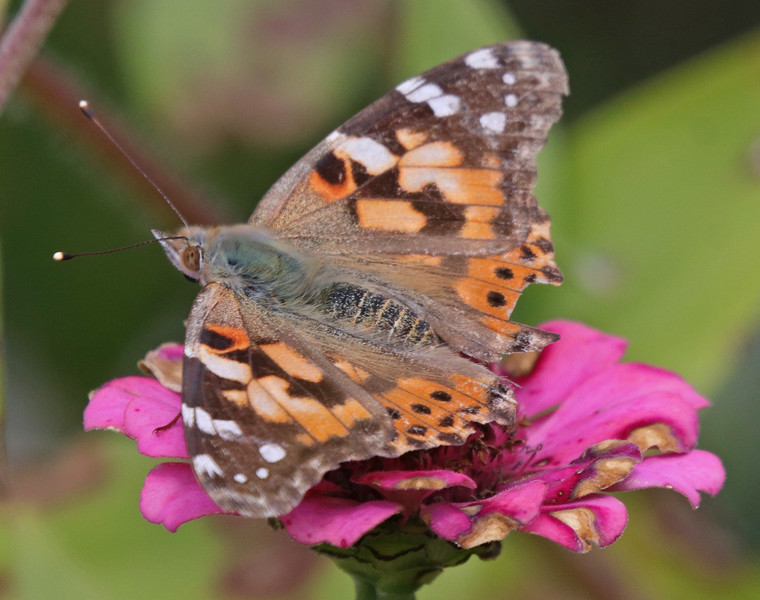 Painted lady 52