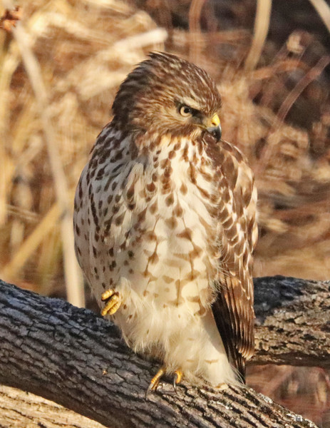 Red-tailed hawk 72