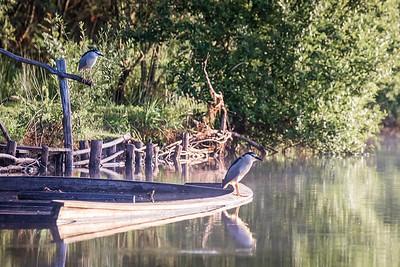 Bihoreau gris (Night Heron)