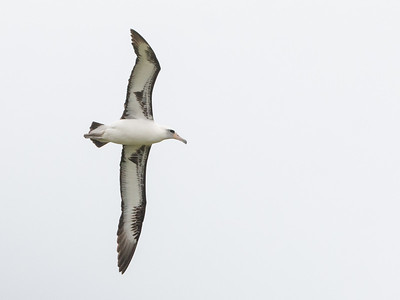 2018-04-17  Laysan Albatross