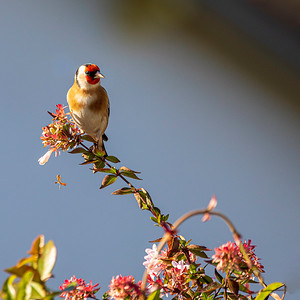 Le chardonneret et l'abélia (The goldfinch and the abelia)