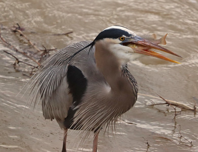 Great blue heron and fish 4