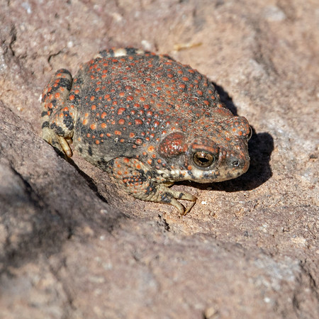 2019-03-30  Red-spotted Toad