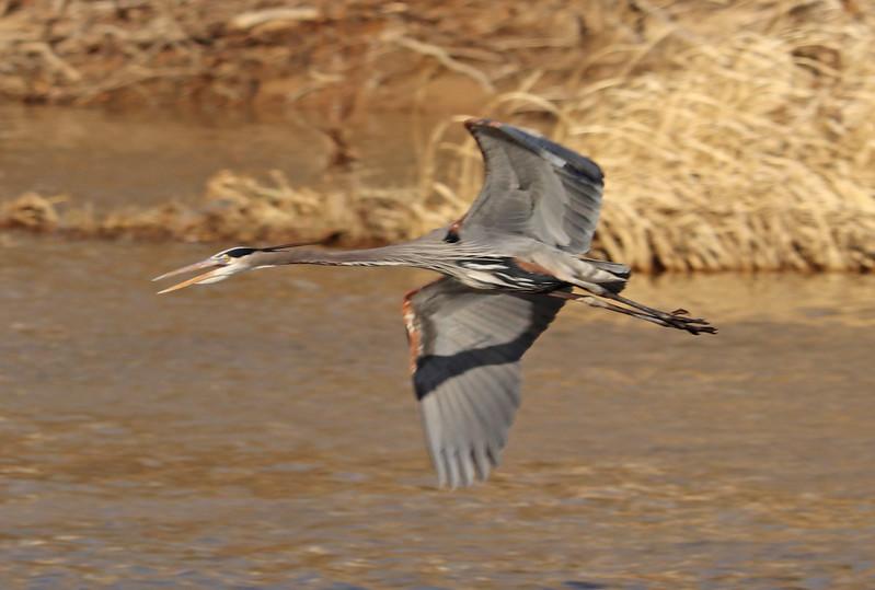 Heron in flight 1