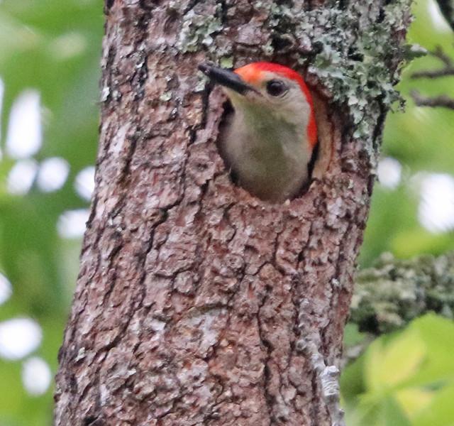 Red-bellied woodpecker 296
