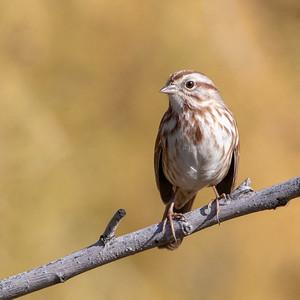 2018-12-08  Song Sparrow