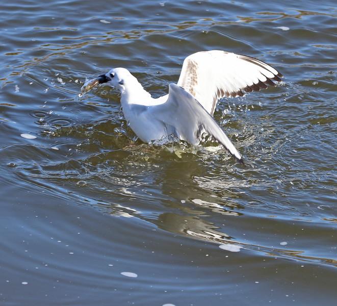 Gull and fish 2