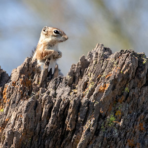 2019-03-31  Harris' Antelope Ground Squirrel