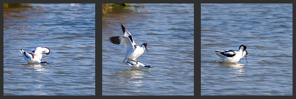 Accouplement d'avocettes - Avocet mating