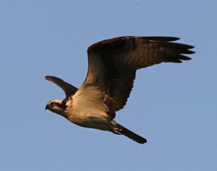 Osprey 82