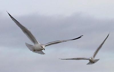 Seagulls 552