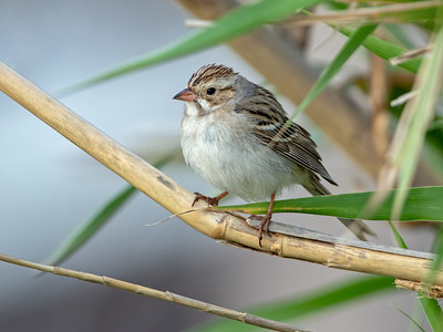 2019-04-11  Clay-colored Sparrow