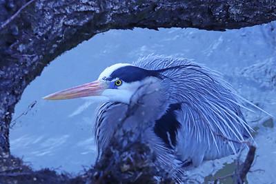 Great blue heron 107
