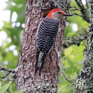 Red-bellied woodpecker 366