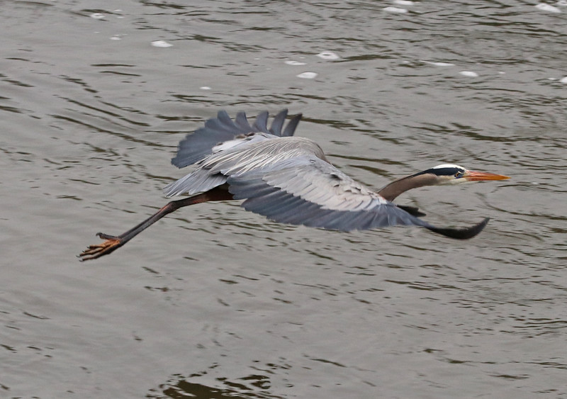 Great blue heron 986