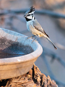 2018-01-28  Bridled Titmouse