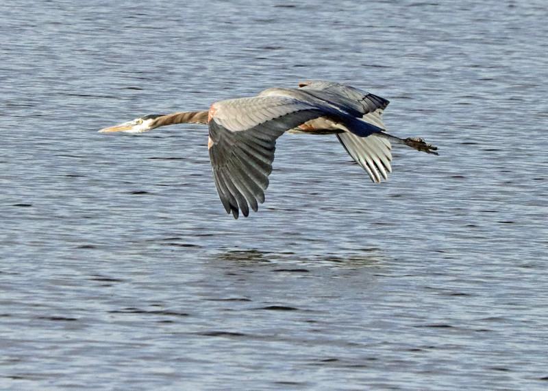 Heron gliding