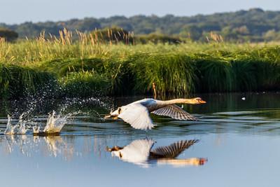 Cygne blanc (White swan)