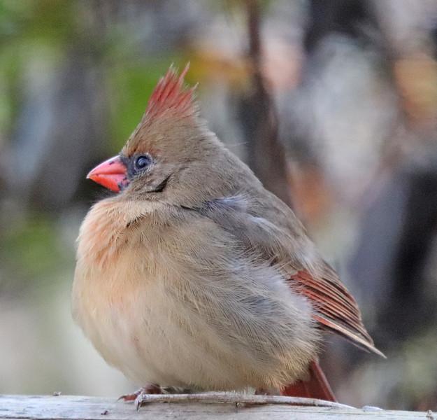 Cardinal 40