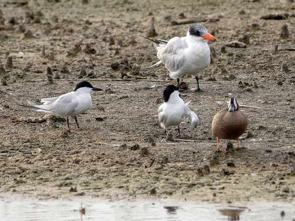 2019-04-11  Gull-billed Tern, Caspian Tern and Blue-winged Teal