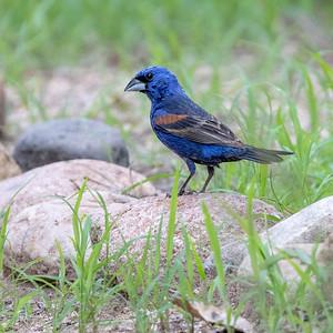 2021-08-14  Blue Grosbeak